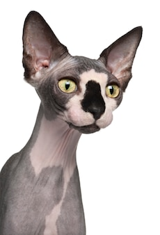 スフィンクス猫、8ヶ月のクローズアップ、
