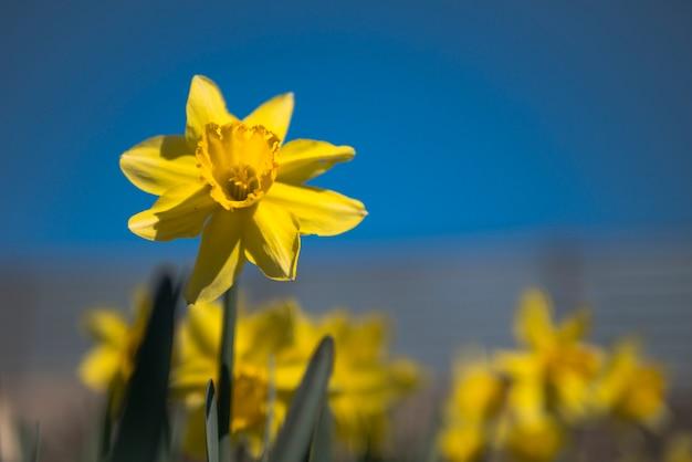 奇妙な8枚の花びら水仙、青い空を背景の黄色の水仙