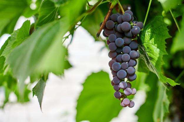 ブドウ園の赤ブドウの房。緑のブドウの葉を持つテーブル赤ブドウ。ワイン、ジャム、ジュースを作るためのブドウの秋の収穫。 9月の晴れた日。