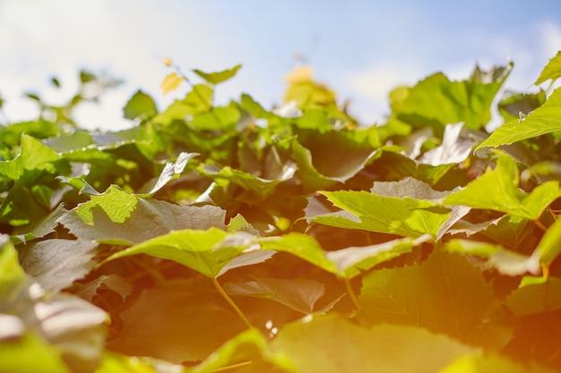 ブドウ畑のブドウの葉。 9月の晴れた日に緑のブドウの葉。すぐにワイン、ジャム、ジュース、ゼリー、ブドウ種子エキス、酢、ブドウ種子油を作るためのブドウの秋の収穫。