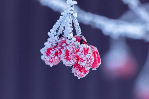 霜で覆われた枝に赤いガマズミ属の木