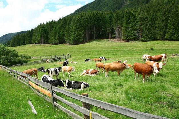 Много коров на пастбище