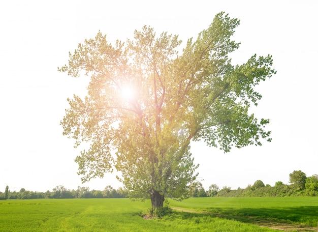 反射光と巨大な緑の孤立した木