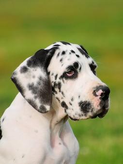 グレートデーン純血種の犬