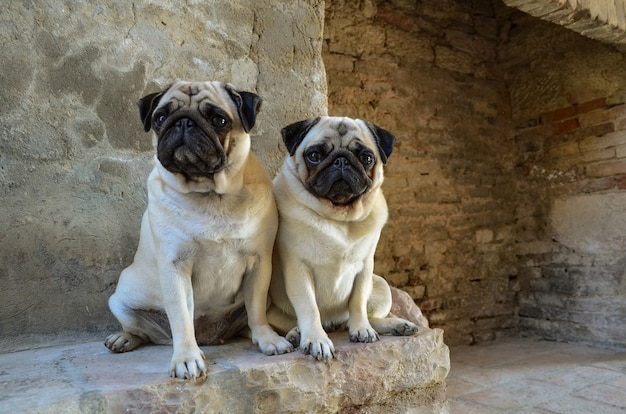 Портрет двух собак мопса.