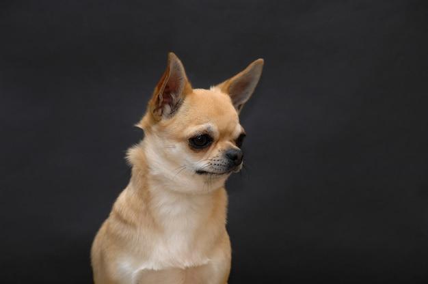 かわいいチワワ犬の肖像画