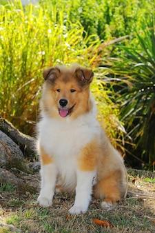 ラフコリー犬の肖像画