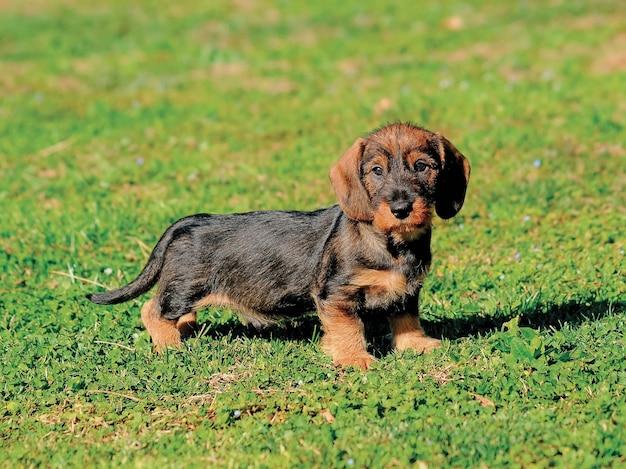 美しいダックスフント子犬犬の肖像画。