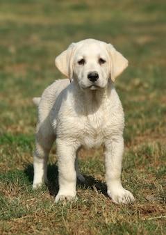 ラブラドール子犬犬