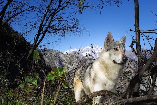 犬チェコスロバキアンウルフドッグ