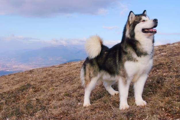 アラスカマラミュート犬の肖像画