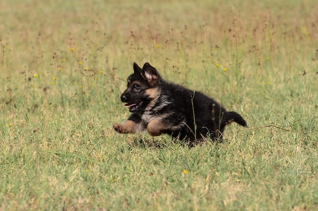 子犬ジャーマンシェパード犬
