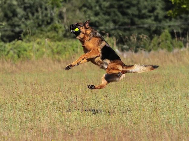 ジャーマンシェパード犬