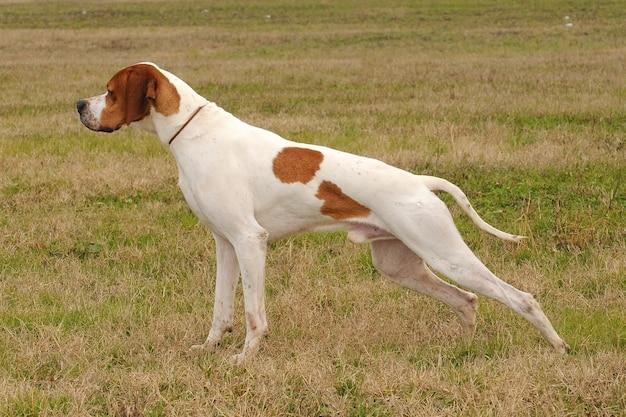ドイツのショートヘアードポインター犬