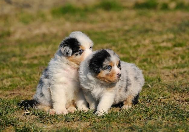 Щенок двух австралийских овчарок на лугу