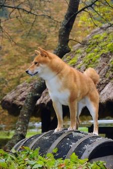 柴犬の肖像