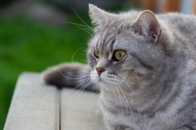 外に座っている灰色のスコットランドのストレート猫。
