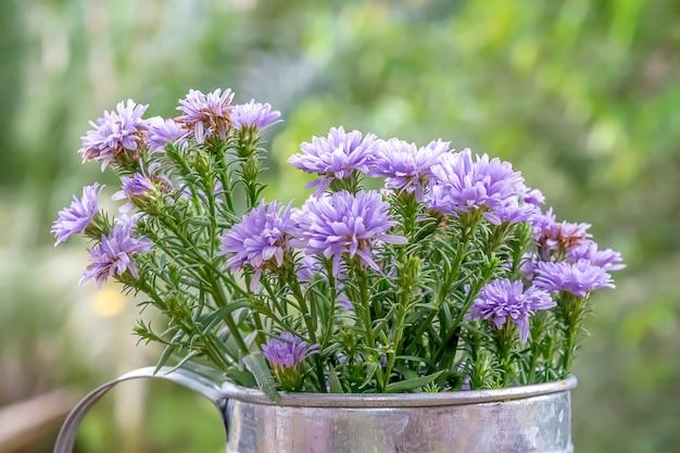 スチールポットの紫色の花の成長