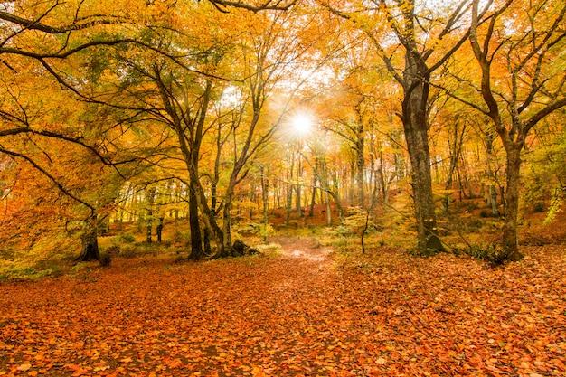Листва в монти чимини, лацио, италия. краски осени в буке. бук с желтыми листьями.