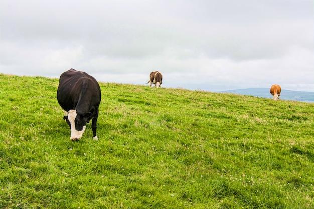 アイルランドの風景、モハーの断崖近くに放牧牛