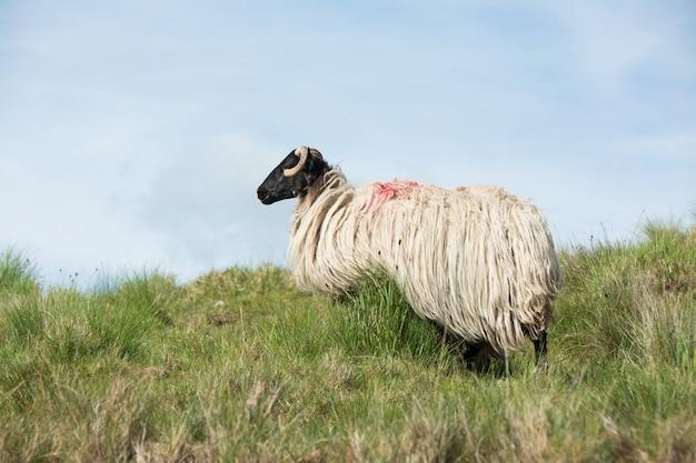 アイルランドの風景、羊の放牧、ゴールウェイ郡のコネマラ