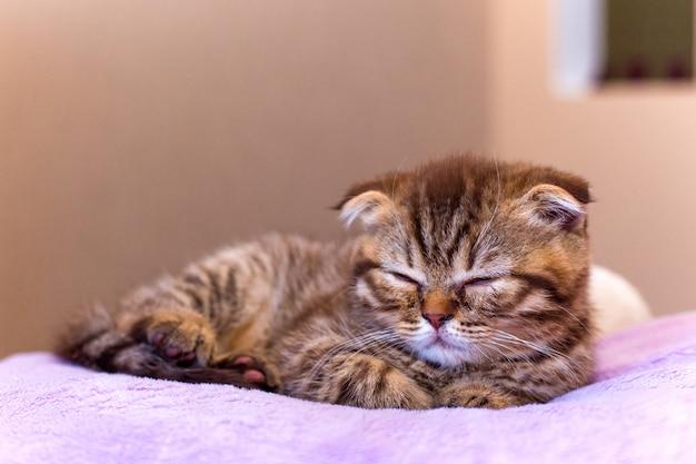 自宅でピンクの枕で寝ているスコットランドの子猫