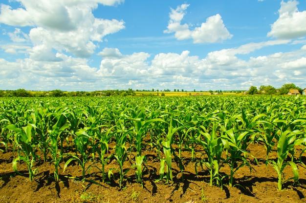 Кукурузное поле на облачном небе