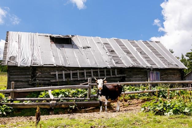 山の中の古い木造家屋の近くの牛