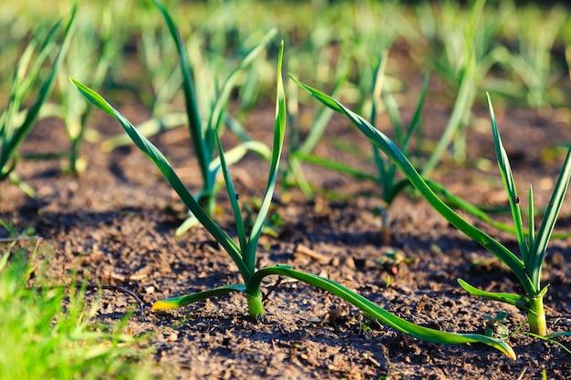 庭のニンニクの若い芽
