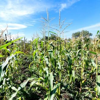 Ростки кукурузы на голубом небе