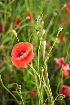 記念日、アンザックデー、静けさ。アヘンケシ、植物植物、エコロジー。