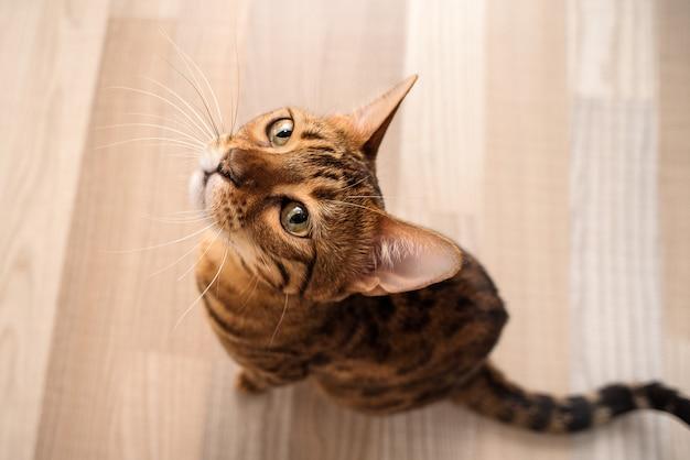 Бенгальская кошка сидит на полу и смотрит вверх