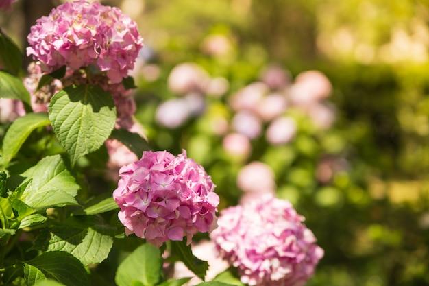 自然の日当たりの良い上の美しいピンクのアジサイやオルテンシアの花。夏の花