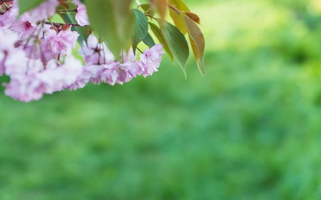 自然の緑の背景にピンクの桜の花