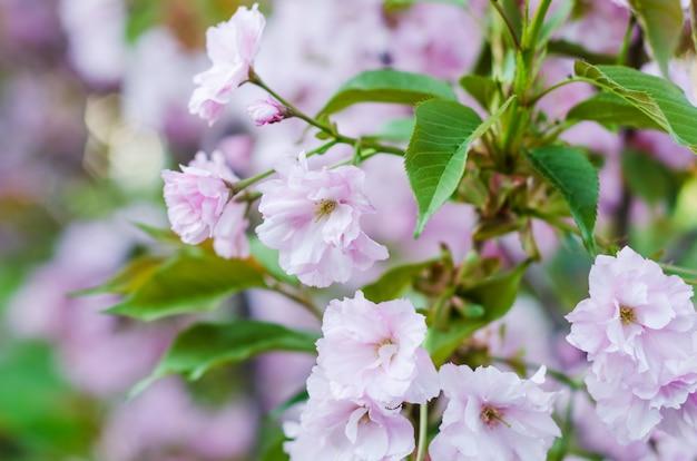 桜、美しい春のピンクの桜の花のクローズアップ
