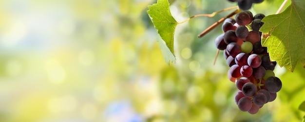 Панорамный вид на один черный виноград, растущий в освещении листвы солнцем