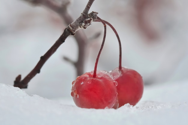 雪の上の赤い果実