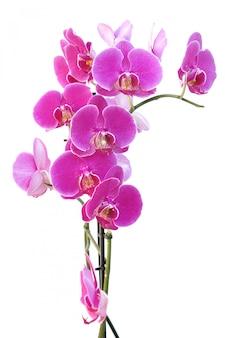 Красивая розовая орхидея
