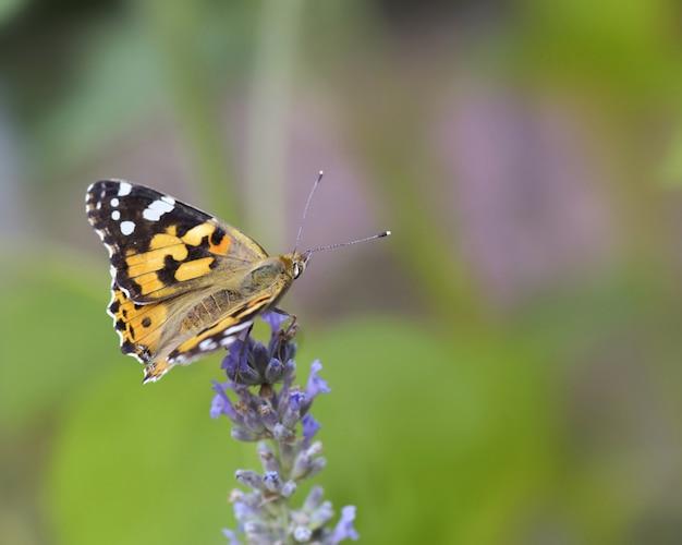 緑のラベンダーの花に蝶を閉じる