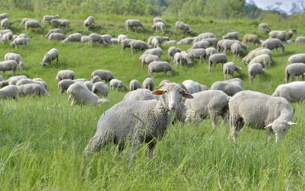 高山の牧草地の羊