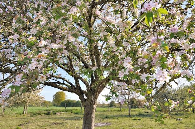 リンゴの木の開花
