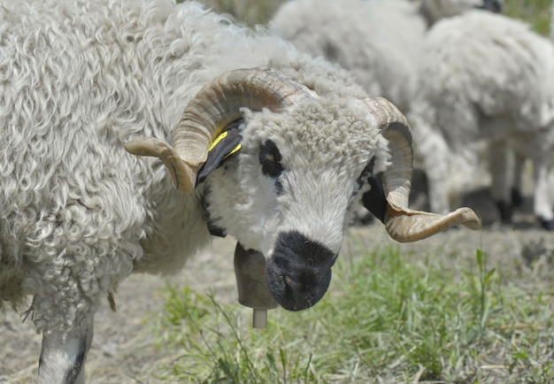 自然の風景の中の羊の群れ