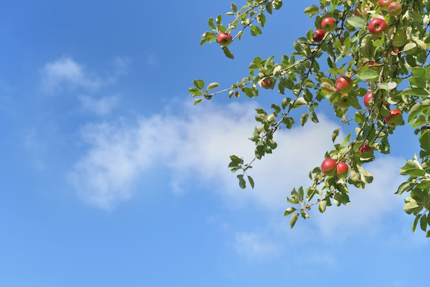Ветка яблони с красными плодами, растущими на фоне голубого неба