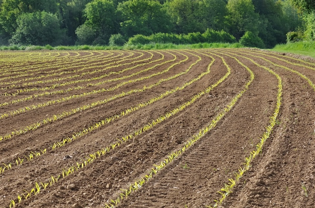 Поле сеянцев кукурузы