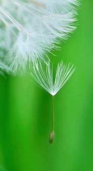 Пучок одуванчика на зеленом фоне