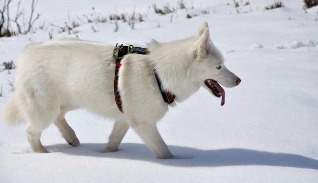 舌をぶら下げて雪の中で歩く白いハスキー