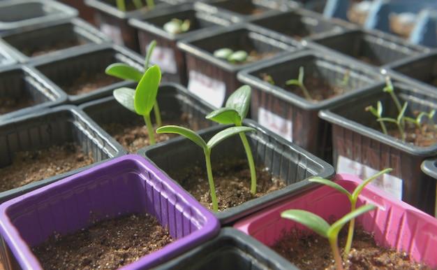 温室の小さな鉢で成長しているもやし
