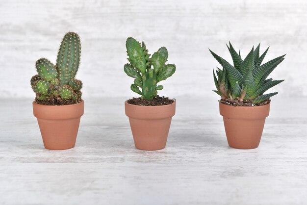 Три небольших кактуса в терракотовый горшок на белом столе