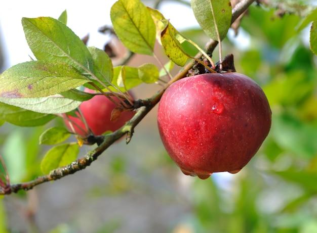 Роса на красном яблоке