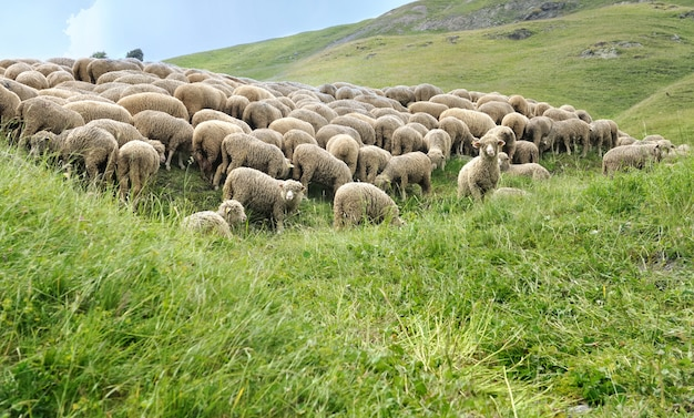 Стадо овец на лугу